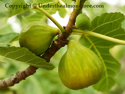 Figs in Pantelleria, Italy