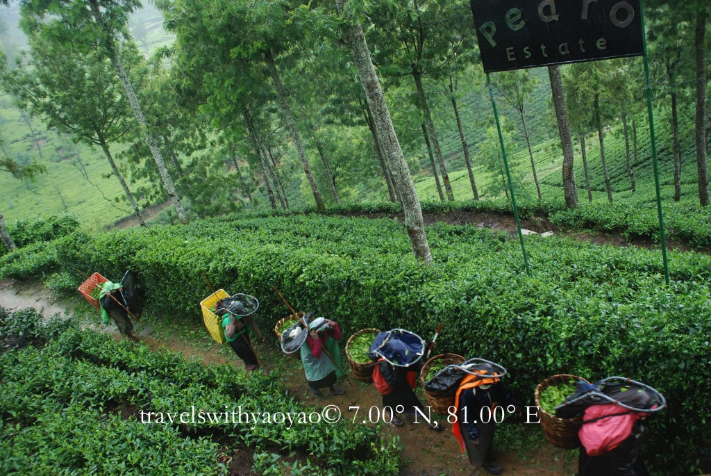 Tea Pickers in the Up Country in Sri Lanka