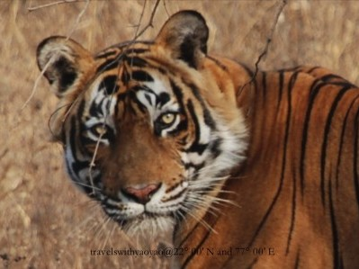 Tiger in Ranthambore, India